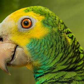Im Cheeky by Ken Nicol - Animals Birds (  )