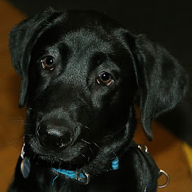 Seth by Chrissie Barrow - Animals - Dogs Portraits ( smooth, pet, fur, ears, puppy, dog, nose, portrait, shiny, eyes, black labrador )