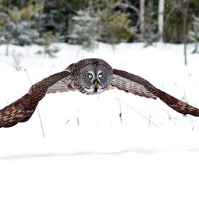 Great Gray Owl by Herb Houghton - Animals Birds ( bird of prey, boreal forest, snow, great gray owl, owl, raptor, herbhoughton.com )