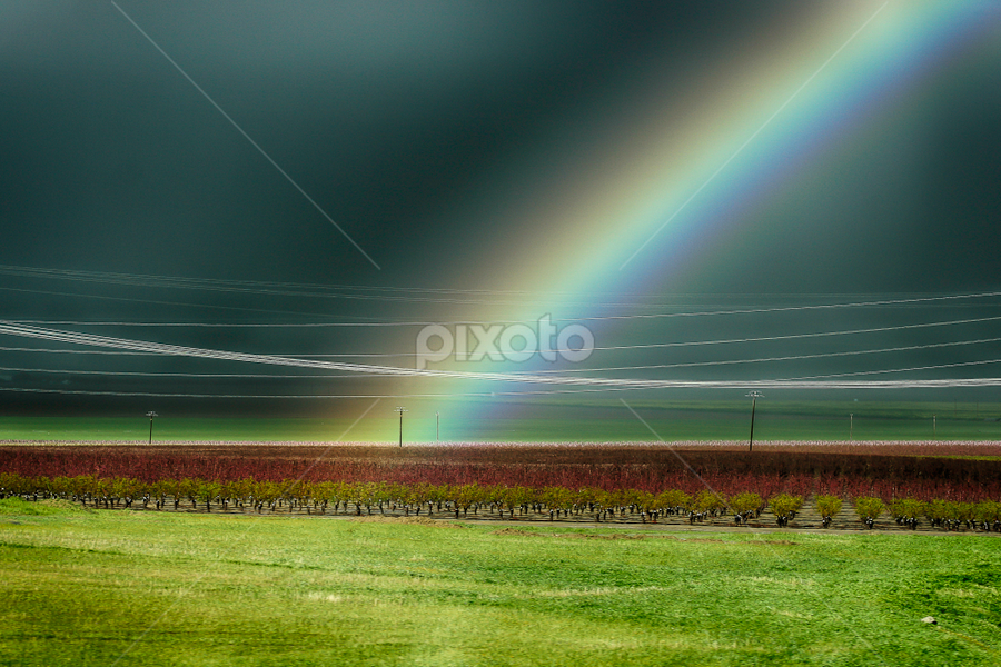 Rainbow Over the Orchard by Nancy Merolle - Landscapes Prairies, Meadows & Fields ( fruit, grass, wires, california, trees, orchard, rainbow, rain )
