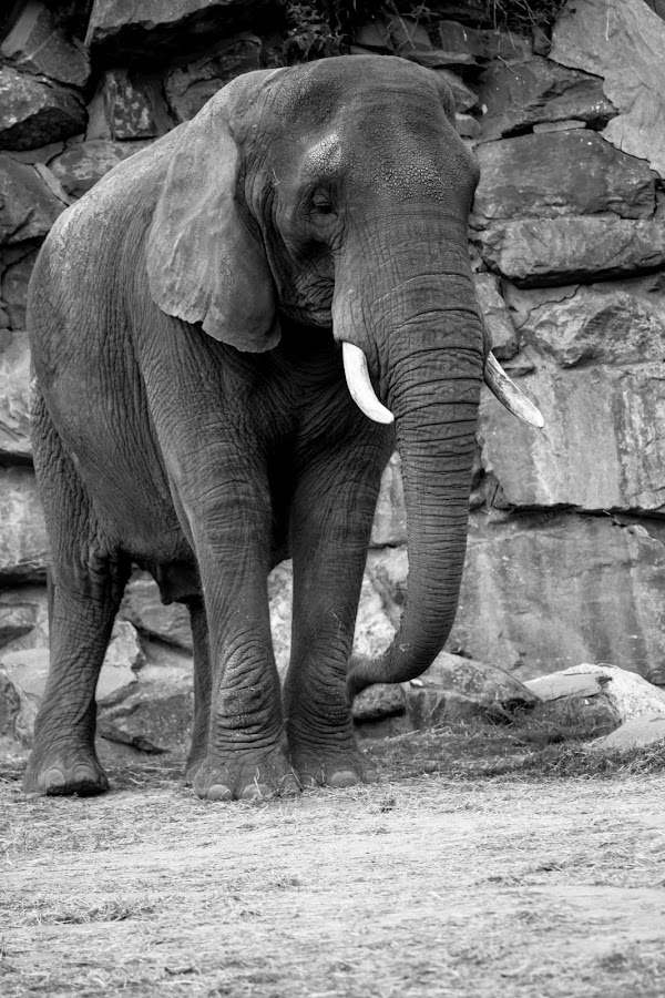 Elephant by Andrew Moore - Black & White Animals (  )