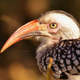 Southern Red Billed Hornbill by Judy Patching - Novices Only Wildlife ( hornbill, bird, nature, wildlife, eye,  )