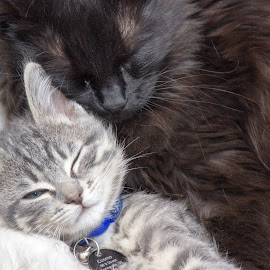 Sleeping Cuddles by Skylar Marble - Animals - Cats Kittens ( kitten, cat, playful, cute kitten, furry, cute cat, cuddly, cute, cuddle, handsome, tabby, friend )