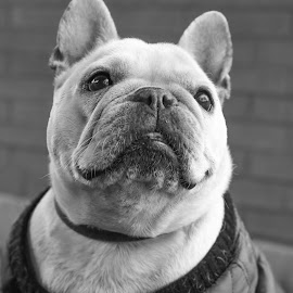 frenchie2 by Jennifer Wollman - Animals - Dogs Portraits ( frenchie, pet photography, dogs, black and white, dog photography, french bulldog )