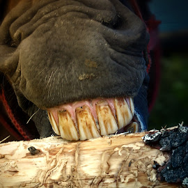 jaw by BO LED - Animals Horses ( farm, wood, horse, teeth, animal )