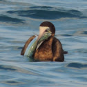 Brown Booby with fish.