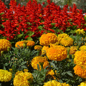 THE BEST OF THE BUNCH by Neha Neekhra - Nature Up Close Gardens & Produce ( pwcflowergarden, red, marigold, yellow, leaf, flowers )