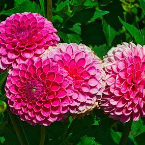 by Jim Jones - Flowers Flower Gardens ( macro, flowers, dahlia, dahlias, flower )