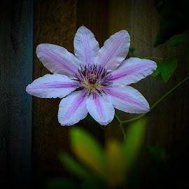 Clematis by Henrik  Krogsgaard - Flowers Single Flower ( clematis, single flower, garden, natrure, flower )
