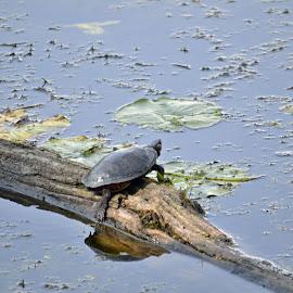 Turtle by Jaliya Rasaputra - Animals Reptiles