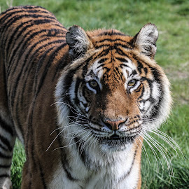 Bengal Tiger by Garry Chisholm - Animals Lions, Tigers & Big Cats ( garry chisholm, predator, carnivore, cat, nature, tiger, wildlife )