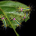 Stinging Nettle Slug Caterpillar