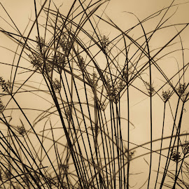 Native Grasses by Del Candler - Nature Up Close Leaves & Grasses ( grasses, sepia, pattern, silhouette, lines )