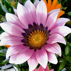by Ashwathi Madhavan - Flowers Single Flower (  )