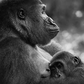 Mother gorilla love by Sean Walker - Animals Other Mammals ( congo, gorillas, mother, jungle, ape, safari, apes, wildlife, gorilla, son )