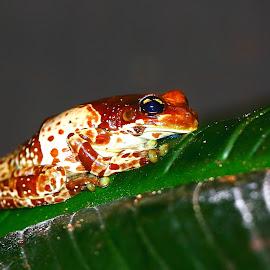 Rainette Kunawalu by Gérard CHATENET - Animals Amphibians