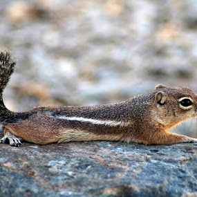 Antelope Squirrel by Bill Bettilyon - Animals Other Mammals ( desert, arizona, phoenix, mammal, antelope squirrel )