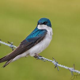 Bird on a Wire by Joe Chowaniec - Animals Birds ( bird, animals, nature, wildlife, swift )