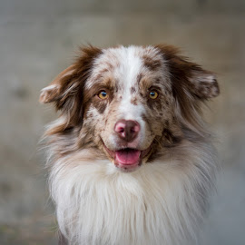 by Crazy  Photos - Animals - Dogs Portraits ( australian sheperd, pet, hund, tier, dog, portrait, animal )
