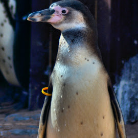 Penguin by Nic Scott - Animals Sea Creatures ( sealife, penguin, penguins, , sea creatures, underwater life, ocean life )