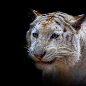 Sarcastic Grin by Esteban Rios - Animals Lions, Tigers & Big Cats ( wild, cat, blue, white, tigger )