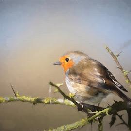 Robin by Tony Steele - Digital Art Animals ( robin )