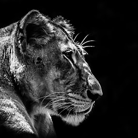The lion king by Brothers Photography - Black & White Animals ( mammals, lion, animals, black and white, wildlife,  )