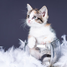 If It Fits by Lawrence Burry - Animals - Cats Kittens ( cat, playful, furry, little, cute, paw, pets, fur, baby, feline, kitty, photo by: l. burry, animal, kitten, animals, beautiful, white, funny, fun, young, tail, domestic, mammal, portrait, pet, whisker, adorable, small )
