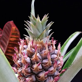 Baby pineapple  by Susie Woolley - Nature Up Close Gardens & Produce ( fruit, macro photography, pineapple )