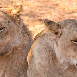 lions by Rachele Fourie - Animals Lions, Tigers & Big Cats ( lion, nature, white lion, wildlife, beauty )