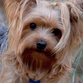 Yorkie Love by Danette de Klerk - Animals - Dogs Portraits ( love, face, yorkshire terrier, yorkie, dog, photography, animal )