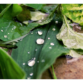 Rain on a leaf..... by Vatsal Patel - Nature Up Close Leaves & Grasses ( water, pure, nature, green, drops, leaf, rain )