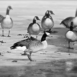 Canadian Geese by Dawn Friend - Black & White Animals ( geese, winter, black and white, birds,  )