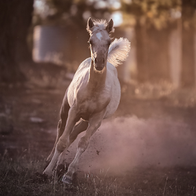 Last light by Glenys Lilley - Animals Horses ( palomino, mare, stallion, foals, horse, horse photography )