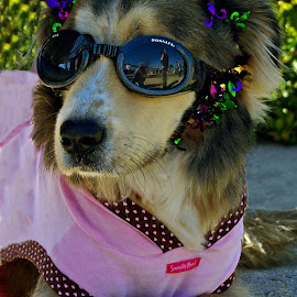 no autographs please by Tony Austin - Animals - Dogs Portraits ( pet, goggles, puppy, dog, mardi gras, animal )
