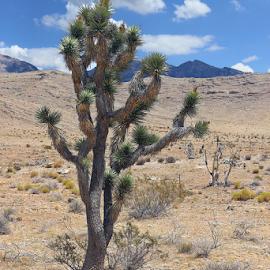Joshua Tree by Tony Huffaker - Nature Up Close Trees & Bushes ( desert, tree, utah, southwest, joshua )