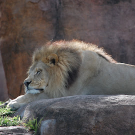 by Keith Heinly - Animals Lions, Tigers & Big Cats ( lion, animal kingdom, florida, rock, disney )