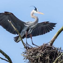 Great Blue Heron by Carl Albro - Animals Birds ( great blue heron, bird, flying, wading bird, nest, heron, wildlife )