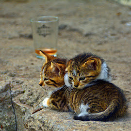 by Angela Codrina Andries Bocse - Animals - Cats Kittens