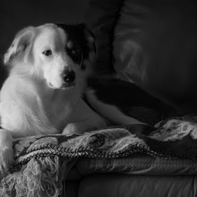 Boo Bear by Christy Borders - Animals - Dogs Portraits ( canine, herding dog, black and white, australian shepherd, dog, aussie )