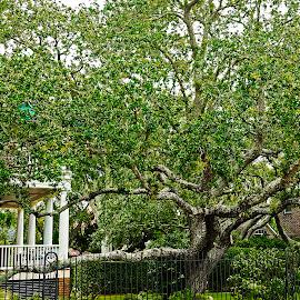 Charleston SC Oak by Dee Haun - Nature Up Close Trees & Bushes ( south carolina, 180605f3102rce2, charleston, old, complex, oak, trees, live oak )