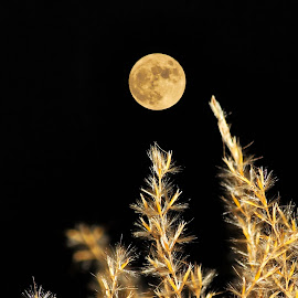 Golden Moon by Jeff Galbraith - Nature Up Close Leaves & Grasses ( moon, rising, grass, full, fountain, night )