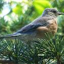 Bluebird (female)