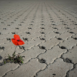 papaver by Piotr Kutolowski - Uncategorized All Uncategorized ( red flower, papaver, beton, solitude, flower )