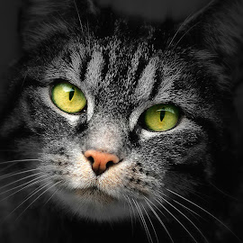 by Laroy Rony - Animals - Cats Portraits