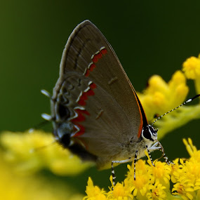 Butterfly by Vasanth Photographer - Animals Insects & Spiders ( butterfly, macro, bug, yellow, insects,  )