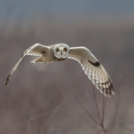 Short eared owl by Denis Keith - Animals Birds