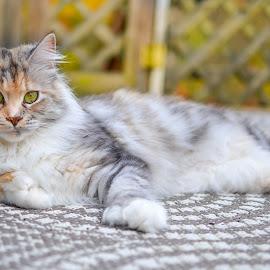 by Vicki Johnson - Animals - Cats Portraits (  )