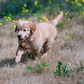 Tesla amongst the yellow flowers by Greg Varney - Animals - Dogs Puppies ( residence, grass, tesla, puppy, 8 weeks )