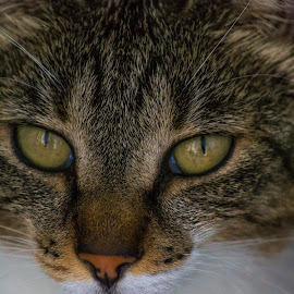 Cat by Gabi Todorean - Animals - Cats Portraits ( pets, kitten, feline, cat, carnivore, animals, hunter )